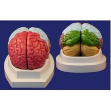 SMD1224 Модель долей головного мозга (2 части)