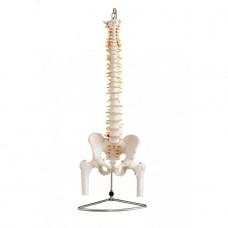 YAL036 Модель позвоночника с артериями и нервами, тазом и головками бедренных костей
