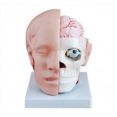 Модель головы с головным мозгом H041